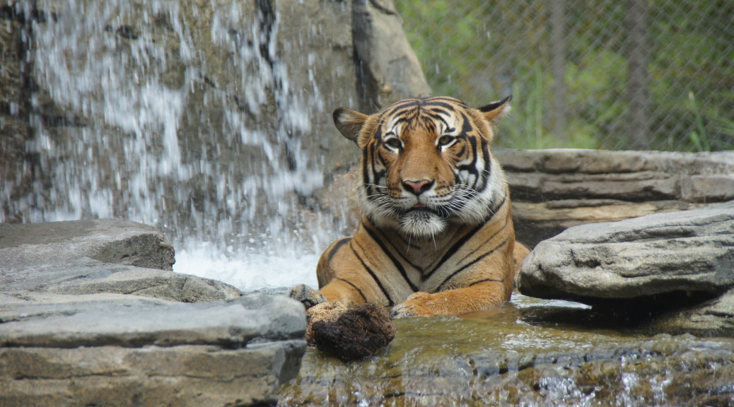 tiger in waterfall at zoo